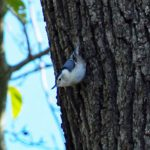 Blue Jay Recklesstown Way, Chesterfield, NJ, 10-26-16