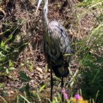 Juvenile Blue Heron, Recklesstown Way, Chesterfield NJ