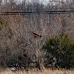 Northern Harrier (Hunting along Rt. 537), Park on Province Line Road & Rt. 537 2