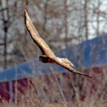 Northern Harrier (Hunting along Rt. 537), Park on Province Line Road & Rt. 537 3