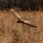 Northern Harrier (Hunting along Rt. 537), Park on Province Line Road & Rt. 537 5