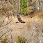 Northern Harrier, Park on Province Line Road & Rt. 537