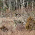 Northern Harrier, Park on Province Line Road & Rt. 537 2