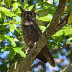 Owl Near Compressor Station