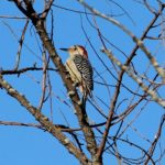 Red-bellied Woodpecker, Park on Province Line Road & Rt. 537